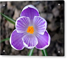 Crocus Acrylic Print by Tony Serzin