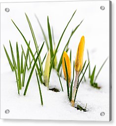 Crocuses In Snow Acrylic Print by Elena Elisseeva