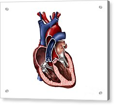 Cross Section Of Human Heart Acrylic Print by Stocktrek Images