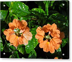 Acrylic Print featuring the photograph Crossandra by Ron Davidson