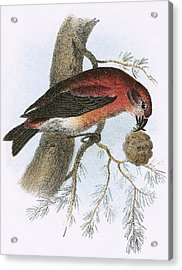 Crossbill Acrylic Print by English School