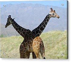 Crossed Giraffes Acrylic Print by Phyllis Kaltenbach
