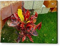 Croton Impressus Acrylic Print by Sandra Pena de Ortiz