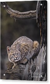 Crouching Bobcat Montana Wildlife Acrylic Print by Dave Welling