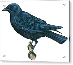 Crow Acrylic Print by Anonymous