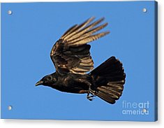 Acrylic Print featuring the photograph Crow In Flight by Meg Rousher