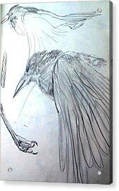 Crow Pencil Study Acrylic Print by Trudi Doyle