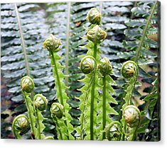 Crown Fern (blechnum Discolor) Acrylic Print by David Taylor/science Photo Library