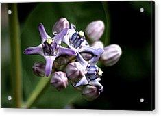 Acrylic Print featuring the photograph Crown Flower - Purple by Ramabhadran Thirupattur