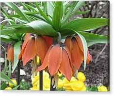 Crown Imperial Fritillaria Acrylic Print