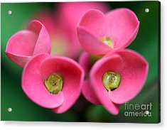 Acrylic Print featuring the photograph Crown Of Thorns Photo by Meg Rousher