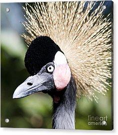 Crowned Heron 2 Acrylic Print