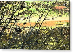 Crows And Two Blackbirds					 Acrylic Print