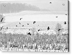 Crows In Cornfield Winter Acrylic Print by Dan Friend