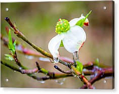 Cruel Winter For A Dogwood Flower Acrylic Print