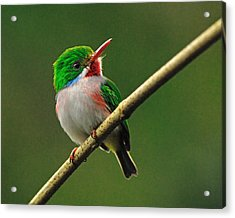 Cuban Tody Acrylic Print by Tony Beck