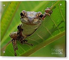 Cuban Tree Frog Acrylic Print