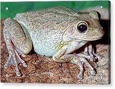 Cuban Tree Frog Osteopilus Acrylic Print by Millard H. Sharp