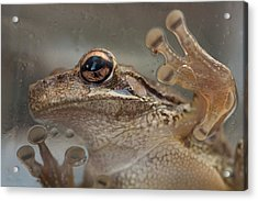 Cuban Treefrog Acrylic Print
