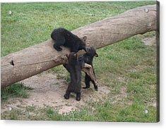 Cubs At Play Acrylic Print