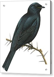 Cuckoo Shrike Acrylic Print by Anonymous