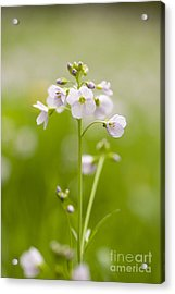 Cuckooflower Acrylic Print by Anne Gilbert