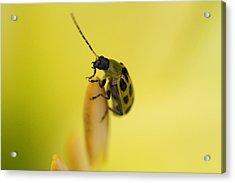 Cucumber Beetle Acrylic Print by David Yunker