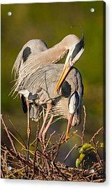 Cuddling Great Blue Herons Acrylic Print