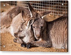 Cuddling Kangaroos Acrylic Print