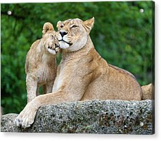 Cuddling With Mom Acrylic Print by Picture By Tambako The Jaguar