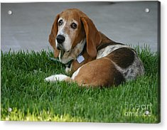 Cupcake Lounging Acrylic Print by D Wallace