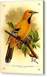 Curacao Oriole Acrylic Print by Dreyer Wildlife Print Collections