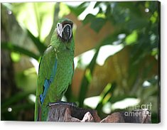 Curacao Parrot Acrylic Print by Living Color Photography Lorraine Lynch