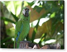 Curacao Parrot Acrylic Print