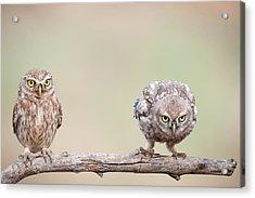 Curiosity Of Chick Acrylic Print