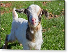 Curious Baby Goat Acrylic Print