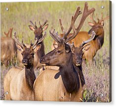 Acrylic Print featuring the photograph Curious Bull Elk by Todd Kreuter