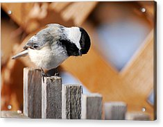Curious Chickadee Acrylic Print by Christina Rollo