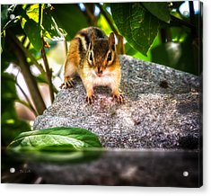 Curious Chipmunk  Acrylic Print