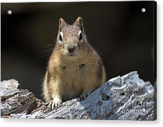 Acrylic Print featuring the photograph Curious Chipmunk by Chris Scroggins