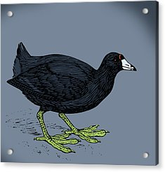 Curious Coot Acrylic Print by Viv Griffiths