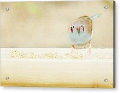 Curious Cordon Bleu Finch  Acrylic Print