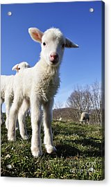 Curious Day Old Lambs Acrylic Print by Thomas R Fletcher