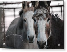 Curious Donkeys Acrylic Print by Lorri Crossno