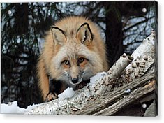 Curious Fox Acrylic Print by Richard Bryce and Family