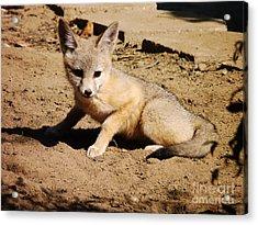 Curious Kit Fox Acrylic Print