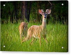 Curious Acrylic Print by Linda Unger