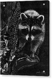Curious Raccoon Acrylic Print by Dustin Miller