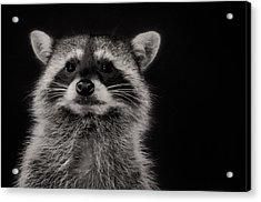 Curious Raccoon Acrylic Print