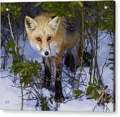 Curious Red Fox Acrylic Print by Susan Candelario